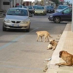 Castelvetrano, cani randagi sbranano gregge di pecore